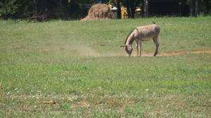 Donkeys beside Murfreesboro Greenway