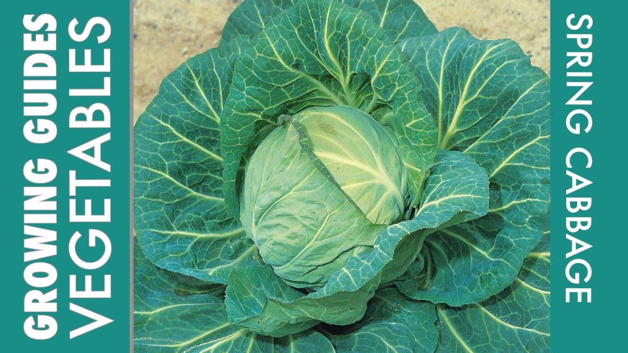 Cabbage How To Grow