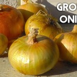 Onion How To Grow