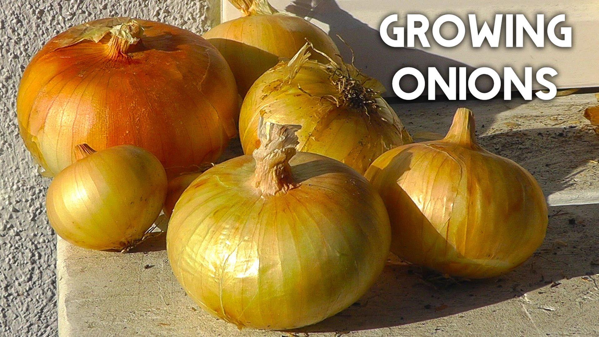 Onion How To Grow