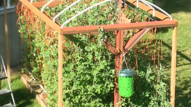 Snap pea How To Grow