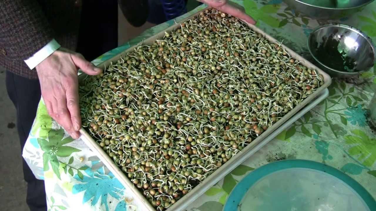 Snow pea How To Grow